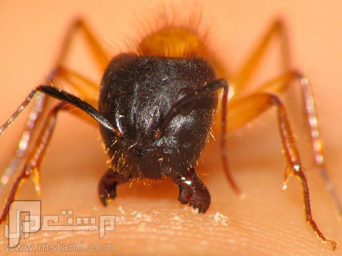 كيف أتخلص من النمل الأسود ؟؟