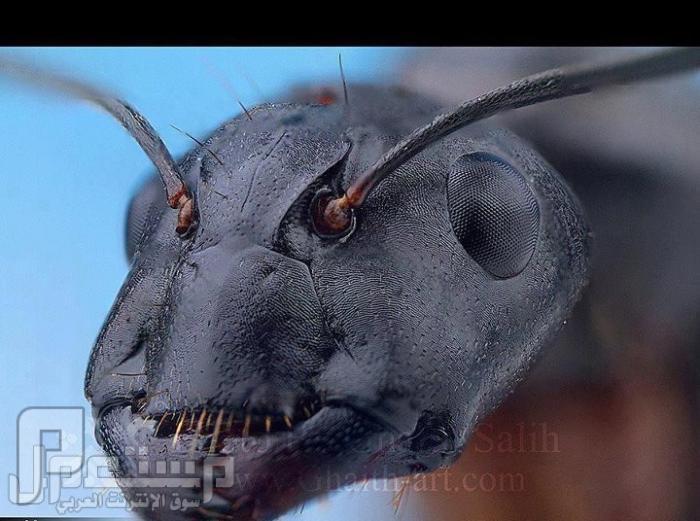سبجان الله الخلاق (صورة وجه نمله)مكبره الأف المرات