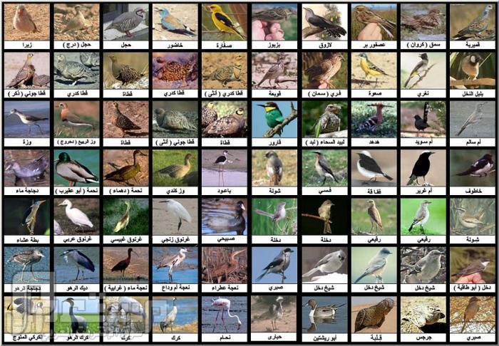 أنواع الطيور (صورة)