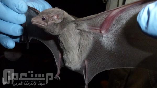 """الصحة السعودية"""" تكتشف حمل الخفافيش لفيروس كورونا الجديد"""
