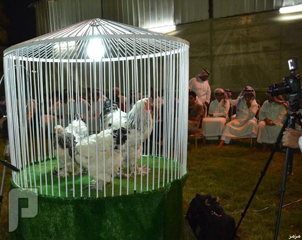 بيع دجاجة بـ 7500 ريال في أول مزاد من نوعه بالرياض