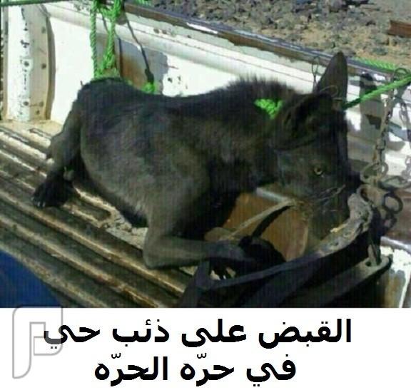 القبض على ذئب حي في حرّة الحرّه (صورة)