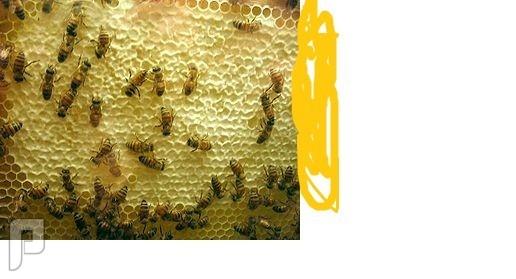 انواع النحل في العالم