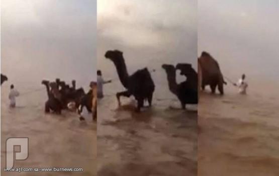 بالفيديو.. سعودي يكافح وسط السيول لإنقاذ الإبل