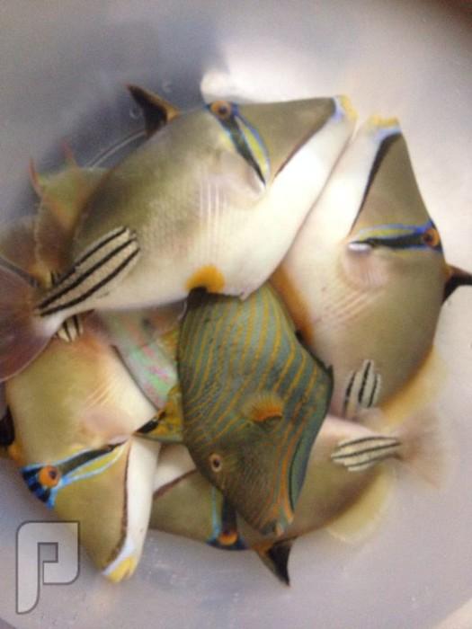 لخبراء الاسماك .. مانوع هذا السمك