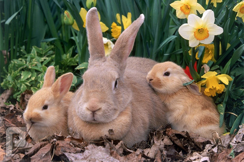 أنظر أين تخبئ أنثى الأرنب صغارها...سبحان الله