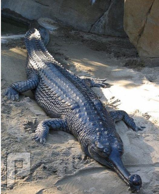 مخلوقات غربية ؟؟؟ تمساح جافيال
