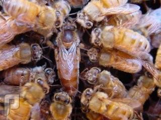 معجزة النحل