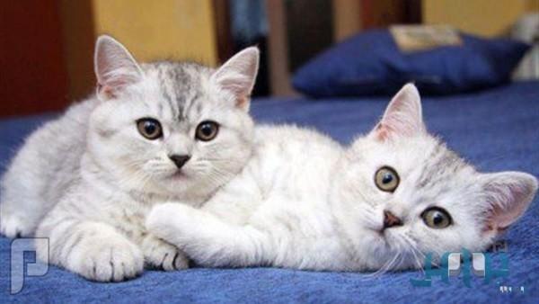 الخضيري: مخالطة القطط تسبب العمى والفصام والاكتئاب