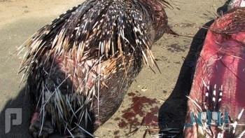 بالصور.. تمزق أحشاء ثعبان عملاق بسبب ابتلاعه حيوان «النيص»