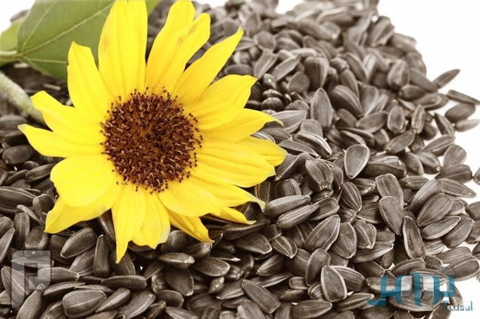 6 فوائد صحية مذهلة لبذور «دوّار الشمس»