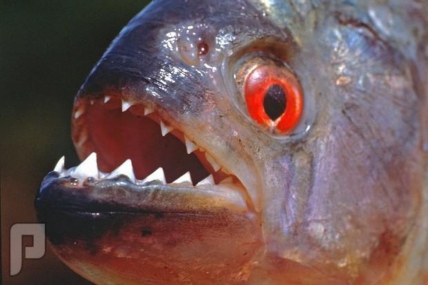 شاهدوا فك سمكة البيرانا