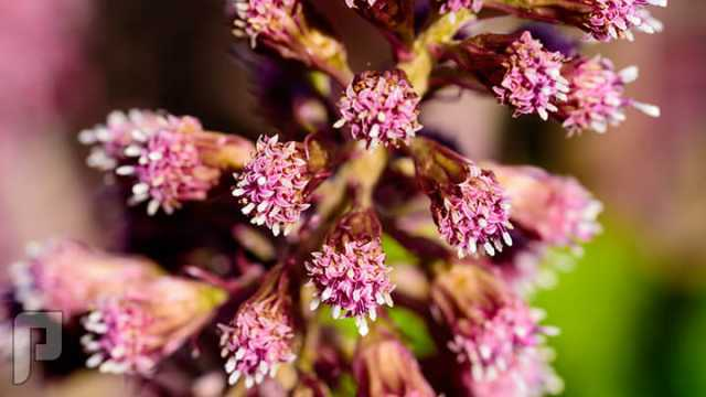كبسولات مستخلص نبات الأرام لعلاج الشقيقة والصداع النصفي.