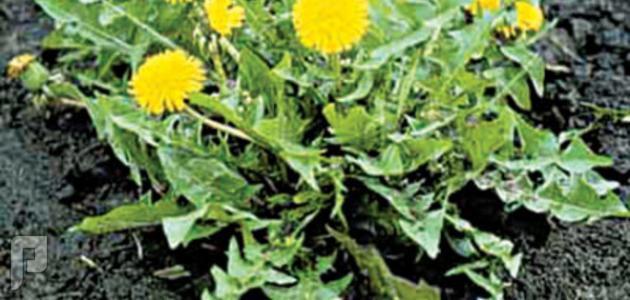 كبسولات مستخلص جذور نبتة الهندباء للقضاء على المشاكل التي تصيب الكبد.