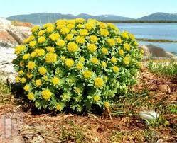 كبسولات نبات الجذر الذهبي لعلاج الاجهاد وزيادة الطاقه.