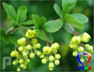 كبسولات مستخلص جذور البربارين لتعزيز مناعة الجسم.
