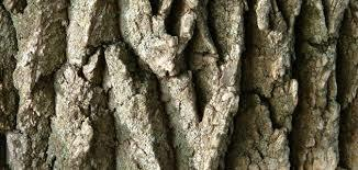 كبسولات لحاء شجرة البلوط الأبيض لعلاج البواسير.