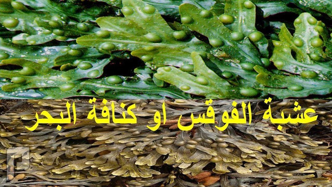 كبسولات عشبة الفوقس الحويصلي البحرية لعلاج تضخم الغدة الدرقية البسيط.
