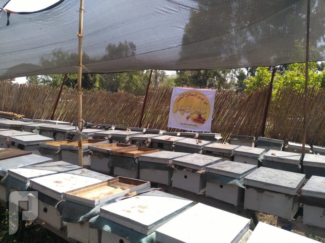 غذاء ملكات النحل سائل مصري أصلي من مناحل مصر(جملة - مفرق)