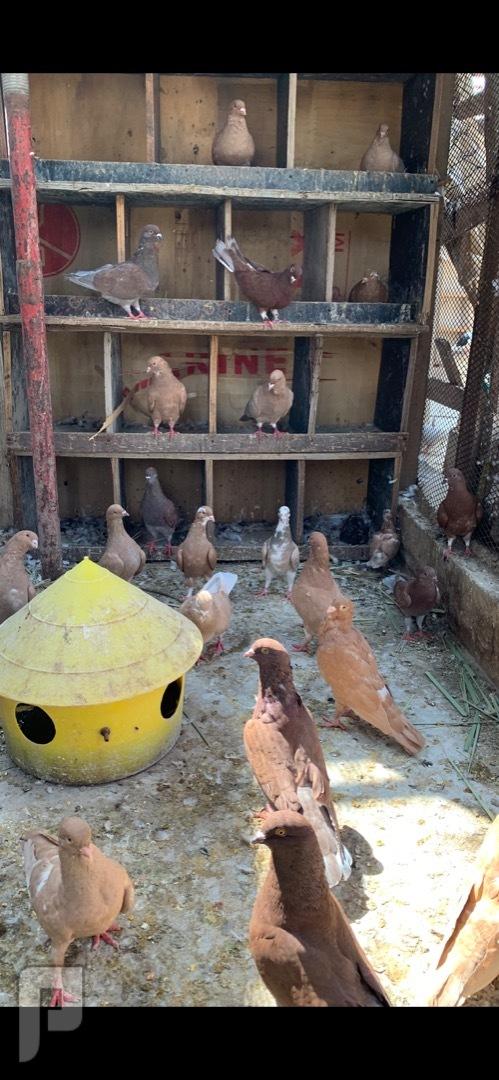 حمام سوري لاحم جروم طيبة وإنتاج ممتاز