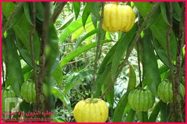 كبسولات فاكهة جارسينيا كامبوجيا لحرق دهون الجسم.