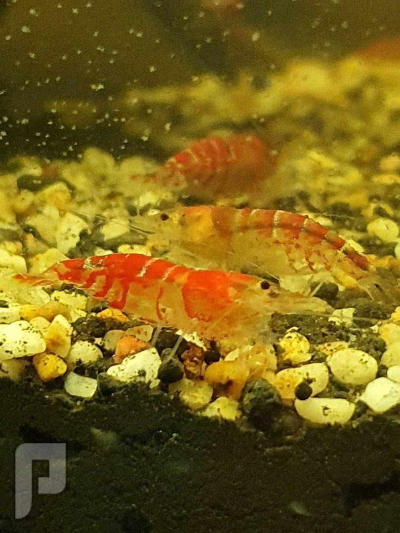 روبيان زينة للبيع dawrf shrimp