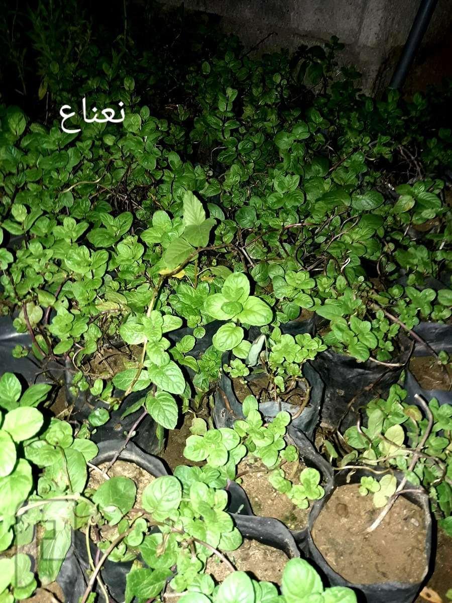نباتات جميلة للحدائق والفلل ونباتات ظل