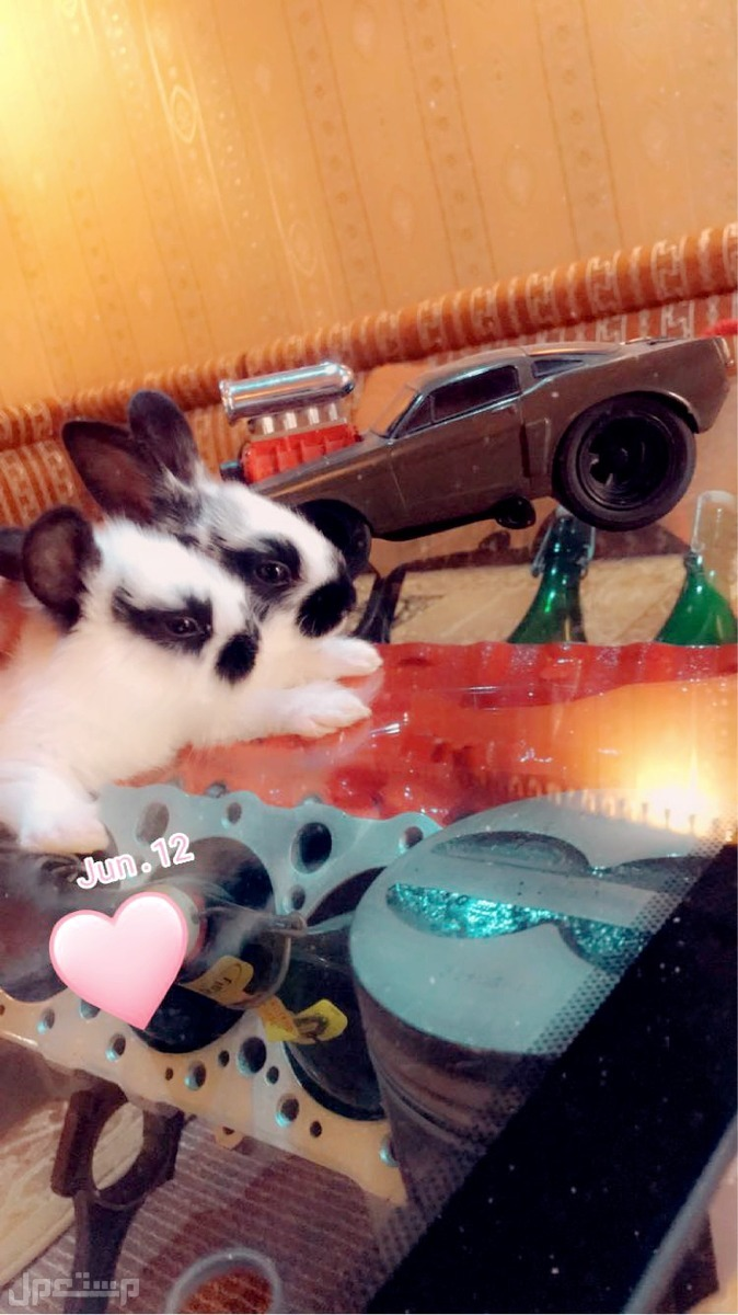 ارانب هولنديه للبيع