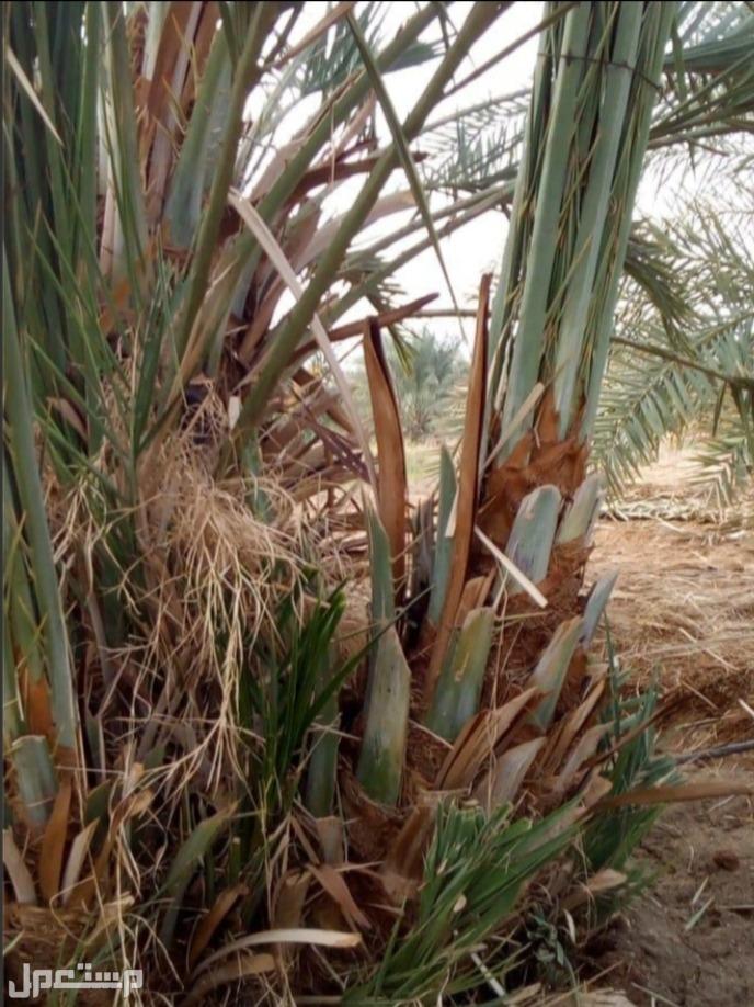 تركيب الشبوك  وزراعة النخيل الزينه والمثمر