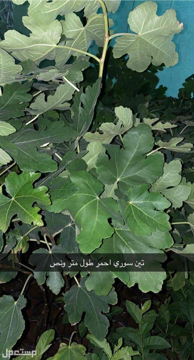 شتلات متنوعه تين عنب رمان جوافه موز سدر