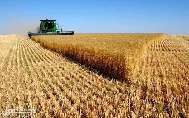 مستحقات الدفعة السابعة من مزارعي القمح المحلي