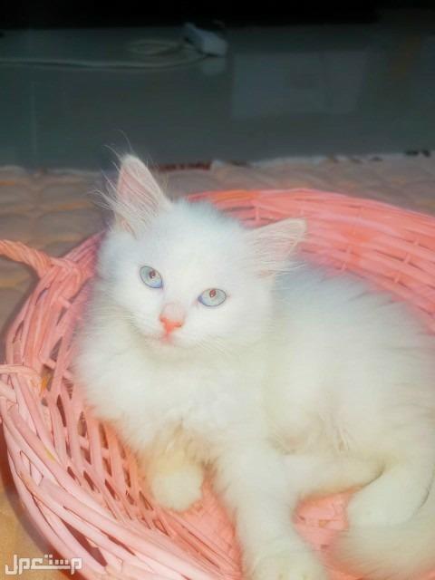 قطه هملايا لينكس جميله جدا