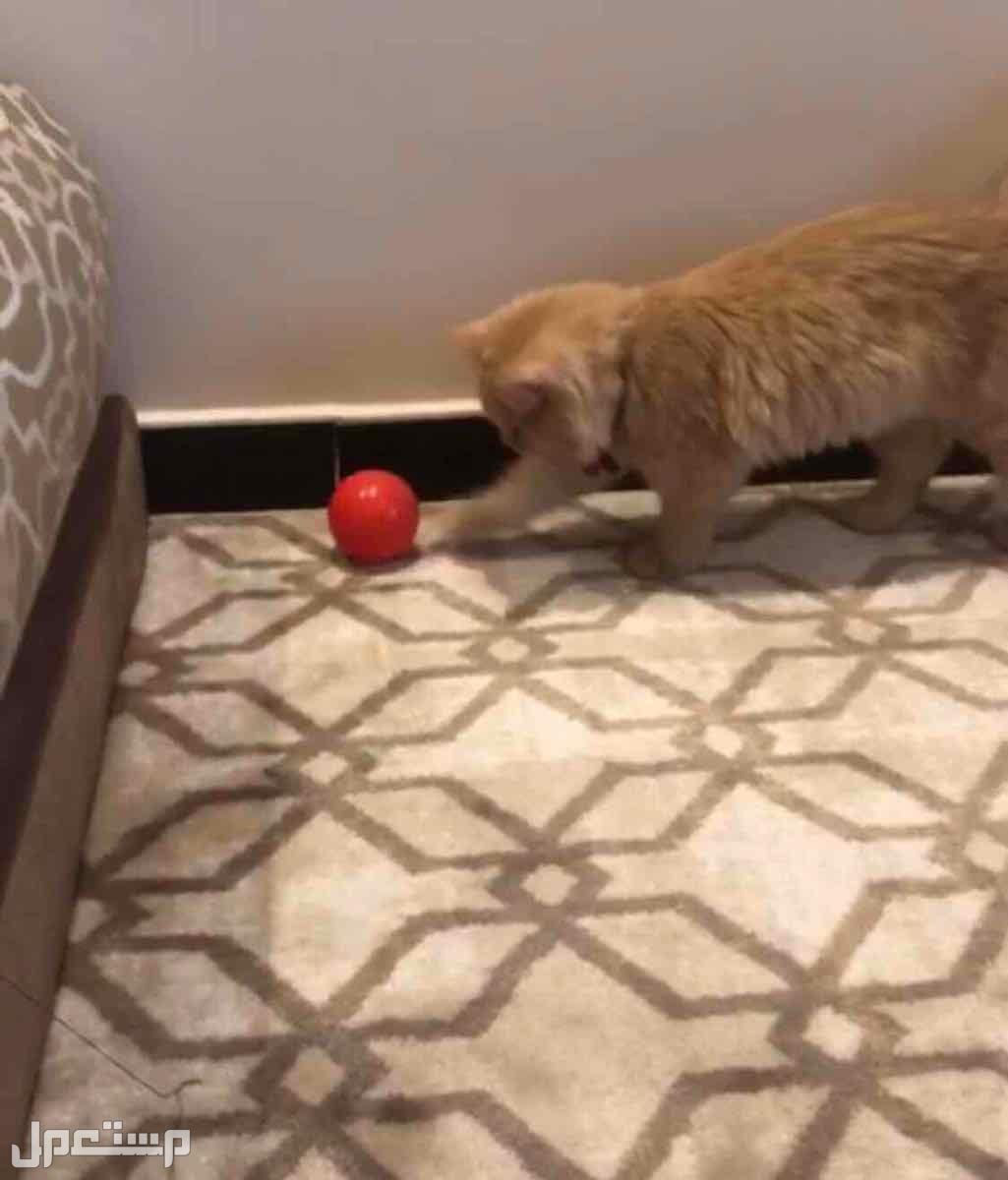 قطه شيرازيه انثى جميله جدا