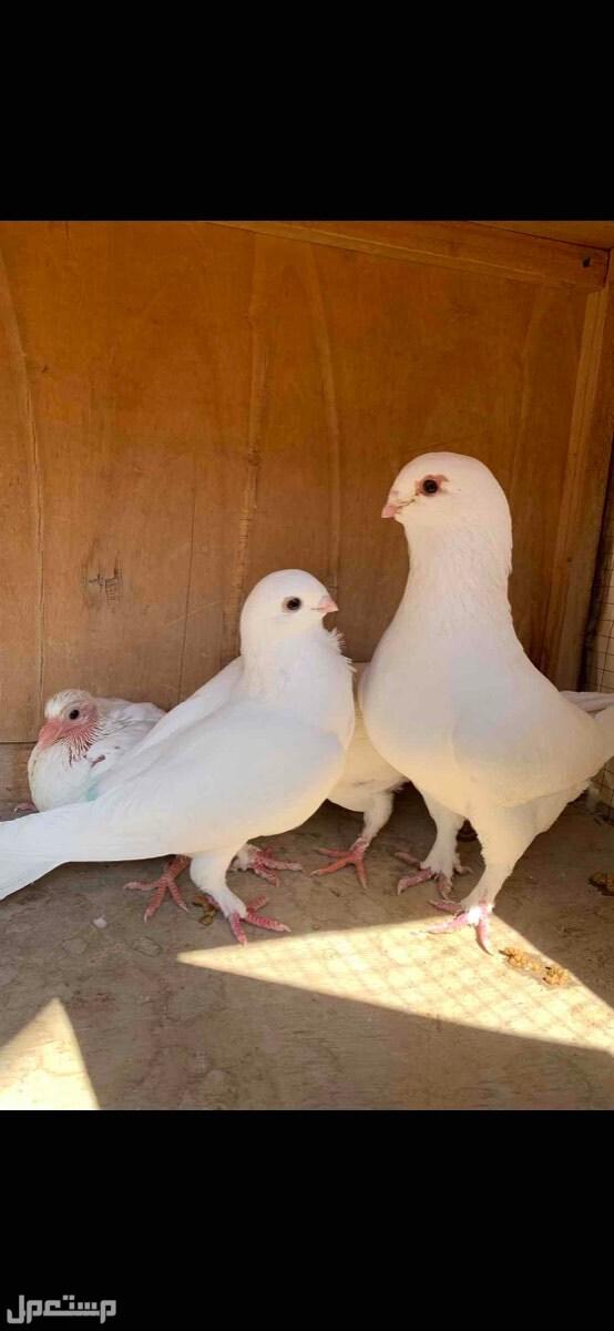 زوج سوري أبيض صك بإنتاجه