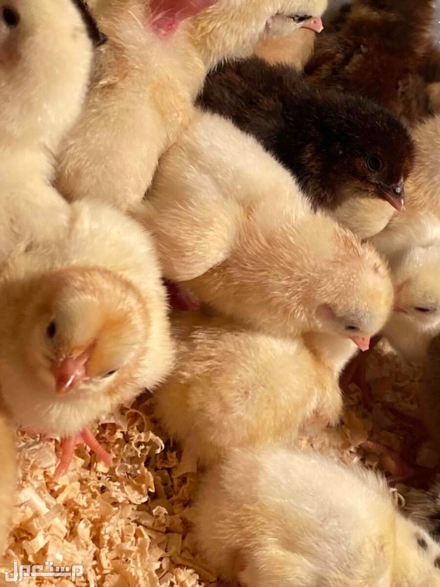 فروخ دجاج بلدي صيصان كتاكيت بلدي