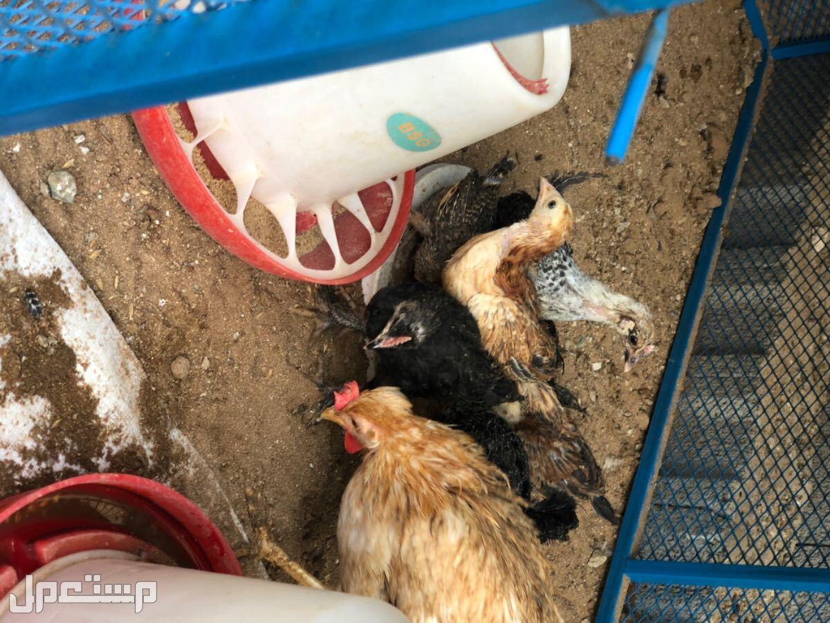 دجاجه بعيالها