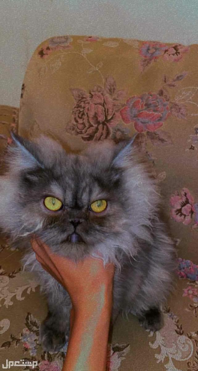 قطط للبيع ذكر