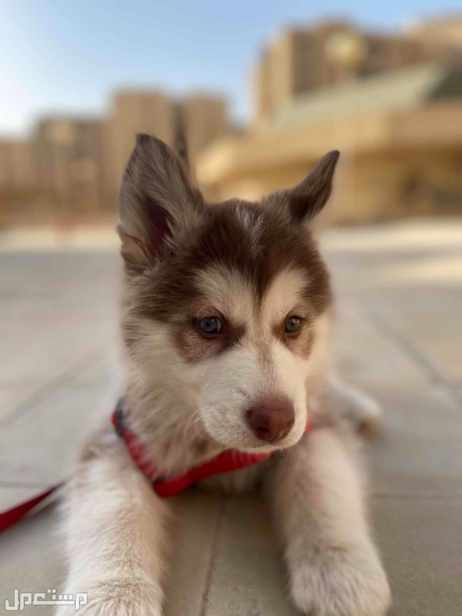 كلب الاسكا مالموت للبيع