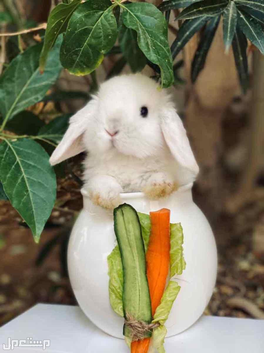 ارانب هولند لوب وانقورا