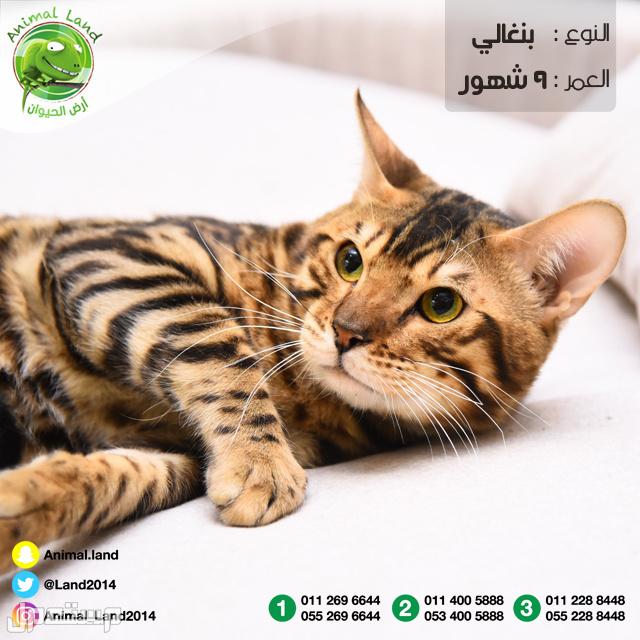 قط بنغالي