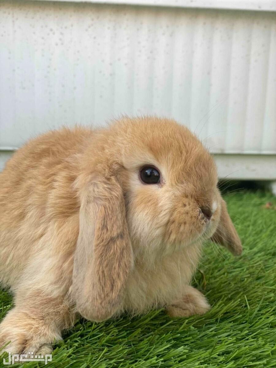 ارنب هولندلوب للبيع