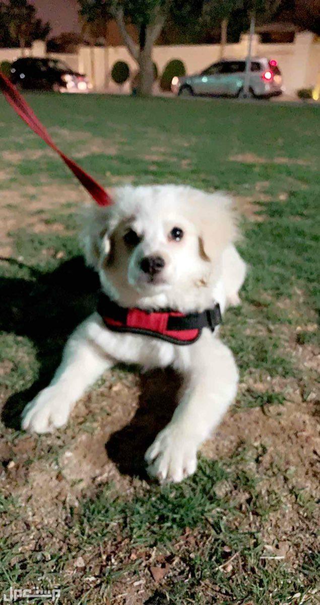 كلب مالتيز 4 شهور  لعوب وجميل