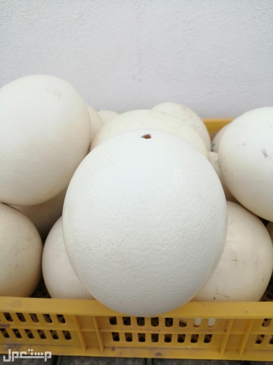 بيض نعام مفرغ للبيع