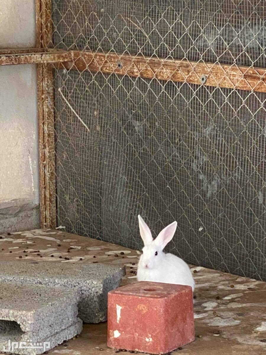 ارانب للبيع جملة