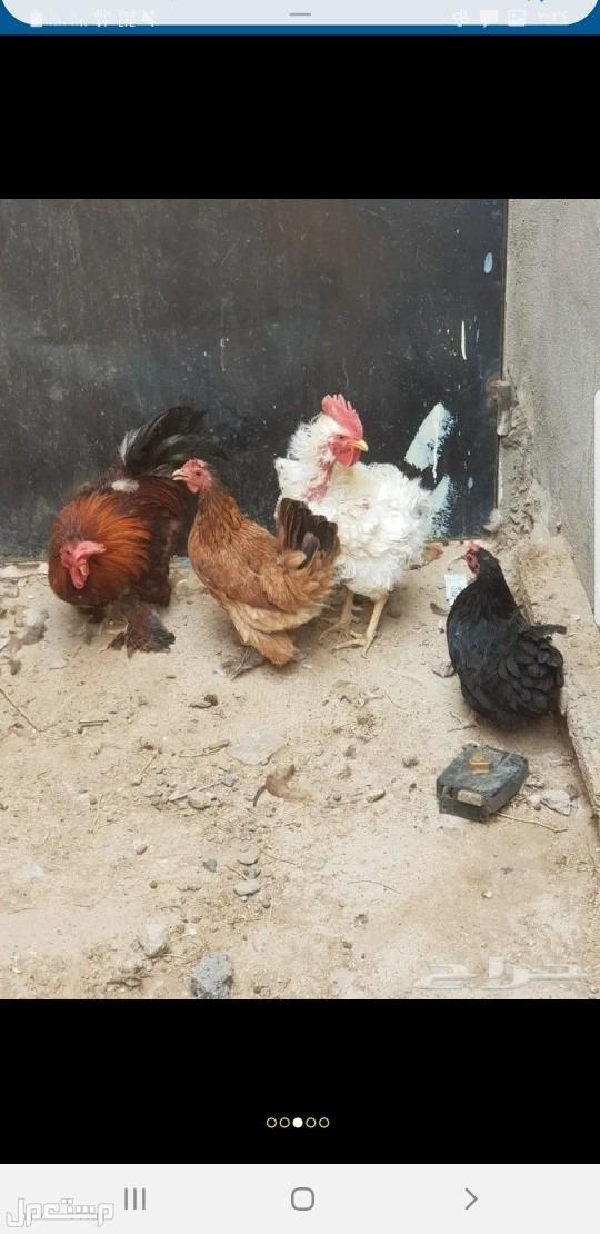 دجاج كوشن وبط