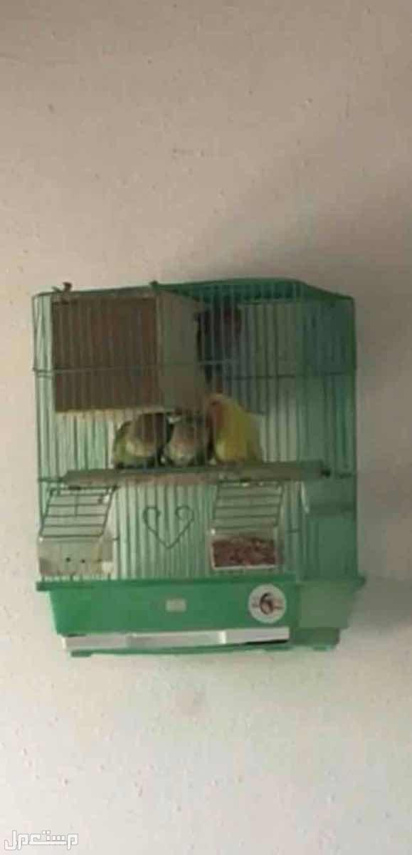 للبيع 4 عصافير روز
