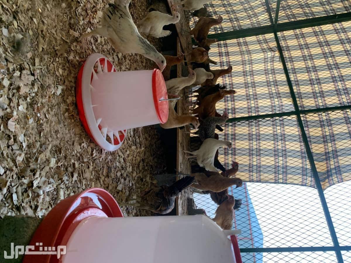 دجاج بلدي بياض مع التوصيل
