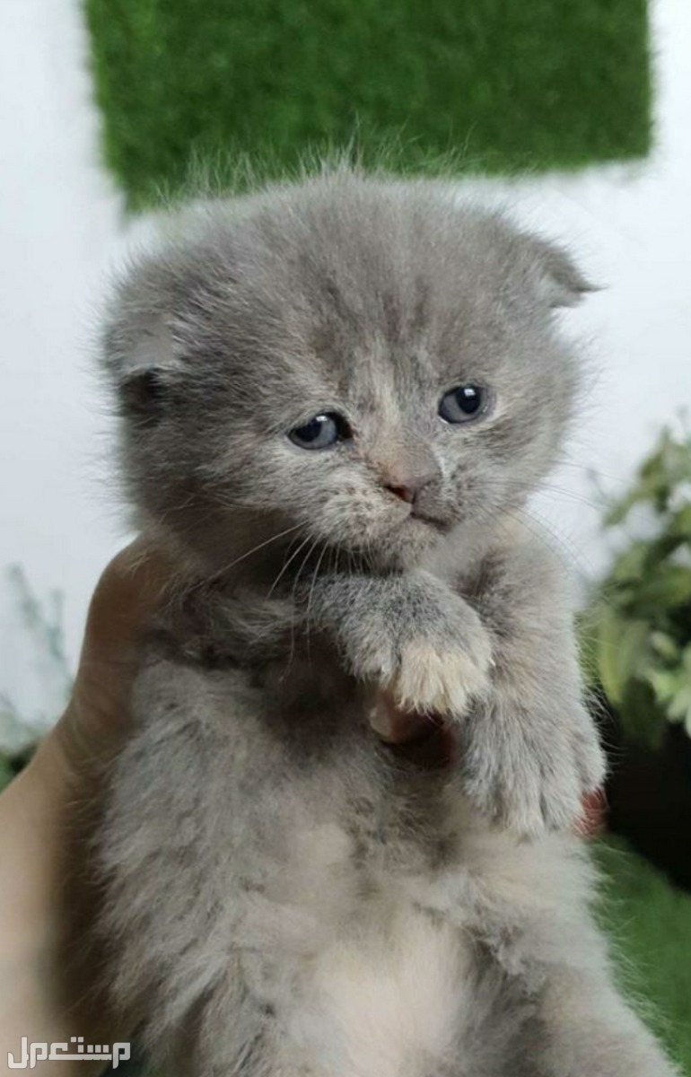 قطط سكوتش فولد