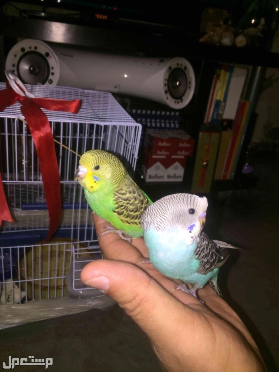 فروخ بادجي طيور الحب اليفين للبيع