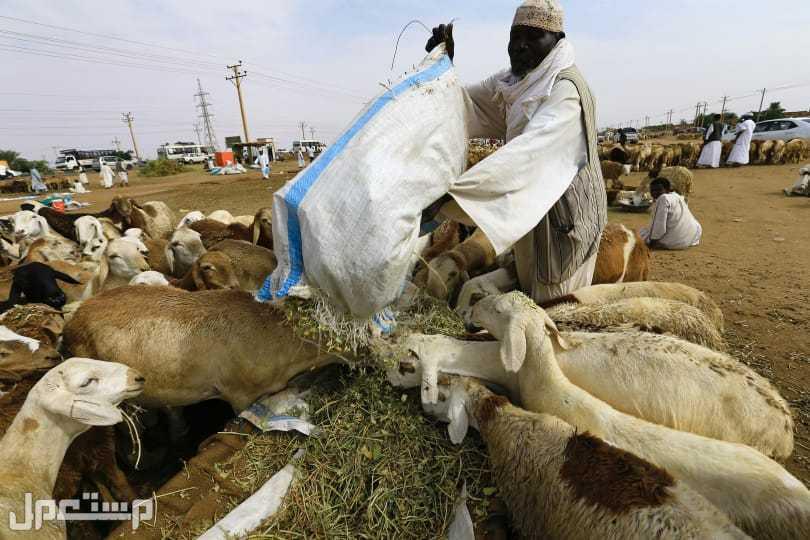 راعي غنم سوداني خبرة في الحلال والزراعة